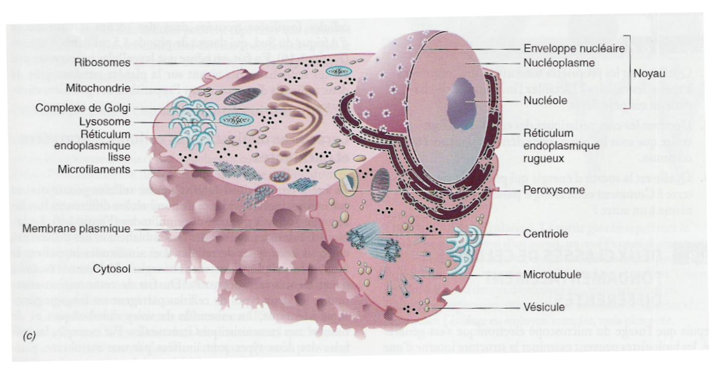 Cellule nerveuse p Dansk, oversttelse, Fransk-Dansk Ordbog